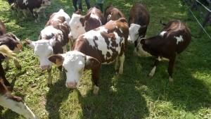fattoria con mucche - Agriturismo Pradaccio di Sopra